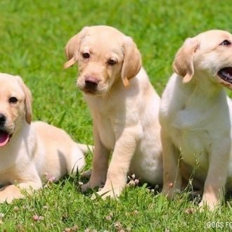 Perros cachorros entrenados por adiestrador canino